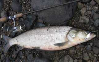 Рыба нельма: описание и фото