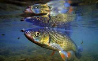 Ловля голавля: снасти, наживки, техника и тактика рыбалки