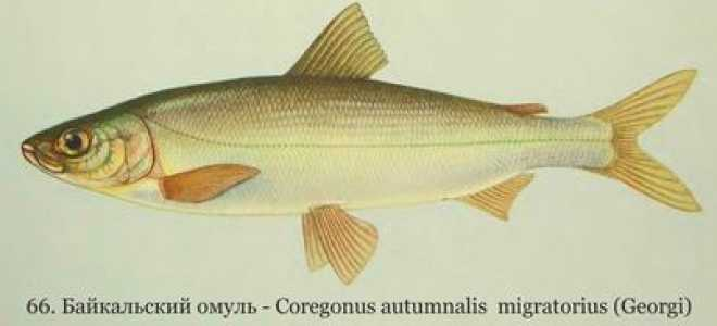 Описание и основные способы ловли рыбы омуль
