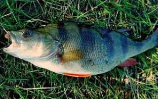 Рыбалка на окуня в августе