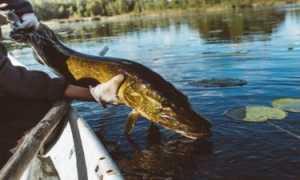Ловля щуки на кружки на озере и реке