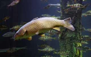 Оснастка для ловли сазана: выбор оснастки и прикормки, изготовление своими руками снастей для рыбалки