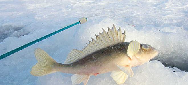 Колючая рыба ерш, ловля ерша приемы и способы