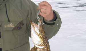 Ловля щуки на капкан – азартная рыбалка на крупного хищника