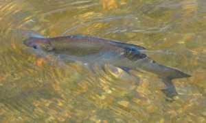 Как выглядит солитер в рыбе: фото, описание, опасность для человека