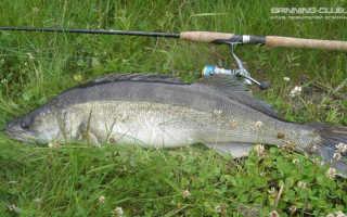 Как ловить судака на спиннинг особенности спиннинговой ловли летом