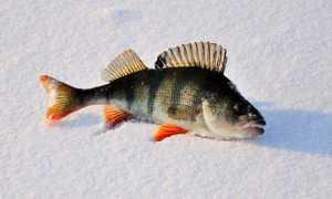Ловля окуня зимой на балду: подробное описание зимней снасти, техники и тактики такой рыбалки