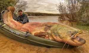 Сом людоед факты об этой гигантской рыбе, фото и видео
