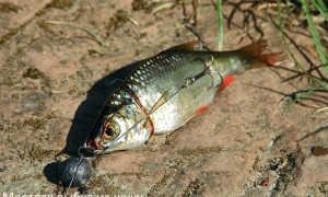 Ловля судака, щуки и окуня в отвес на виброхвосты и мертвую рыбку