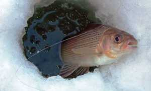 На зорьке не встал – рыбалку потерял, ловля хариуса зимой