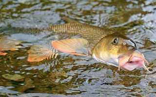 Рыба усач: способы ловли и подробное описание