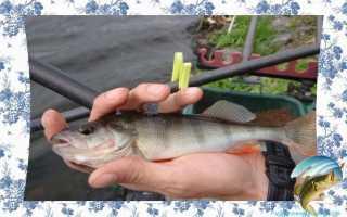 Как ловить окуня на поплавочную удочку