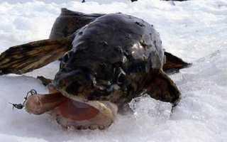 Ловля налима зимой на стукалку: видео, наживка, техника