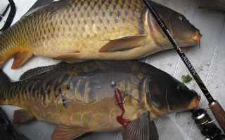 Рыбе, что клюет на любую наживку, долго не жить, ловля карпа на спиннинг