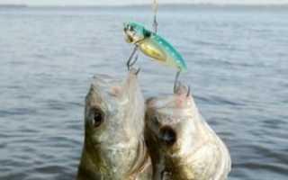 Рыбак думает головой, а рыба – чешуей, ловля на цикаду спиннингом