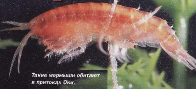 Мормыш (Бокоплав). Фото. Живой Мормыш для Рыбалки