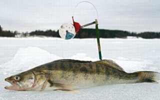 Способы ловли судака по перволедью