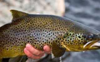 Рыба кумжа фото, описание, особенности ловли