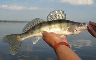 Чем рыба берш отличается от мелкого судака фото