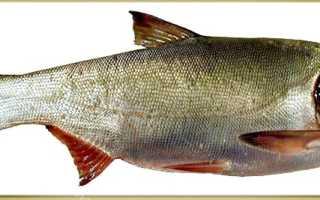 Что за рыба – толстолобик