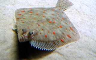 Рыба камбала — плоский обитатель дна