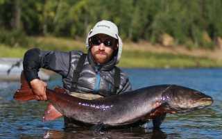 Рыбак языком чешет – да не всегда брешет, ловля тайменя на спиннинг