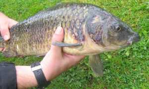 Аэромоноз карпов – опасна ли рыбная болезнь и как лечить