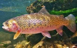 Что за рыба радужная форель описание и образ жизни