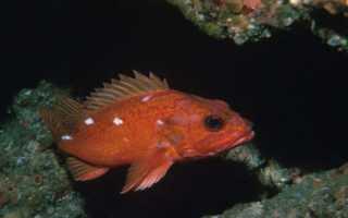 Морские окуни – обитатели глубин