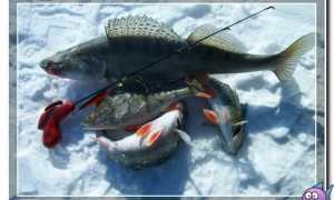 Ловля судака в январе на спиннинг по открытой воде